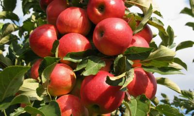 2019년 햇사과 세척사과/사과